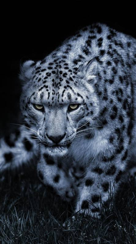 Baby Snow Leopard Wallpapers Free By Zedge