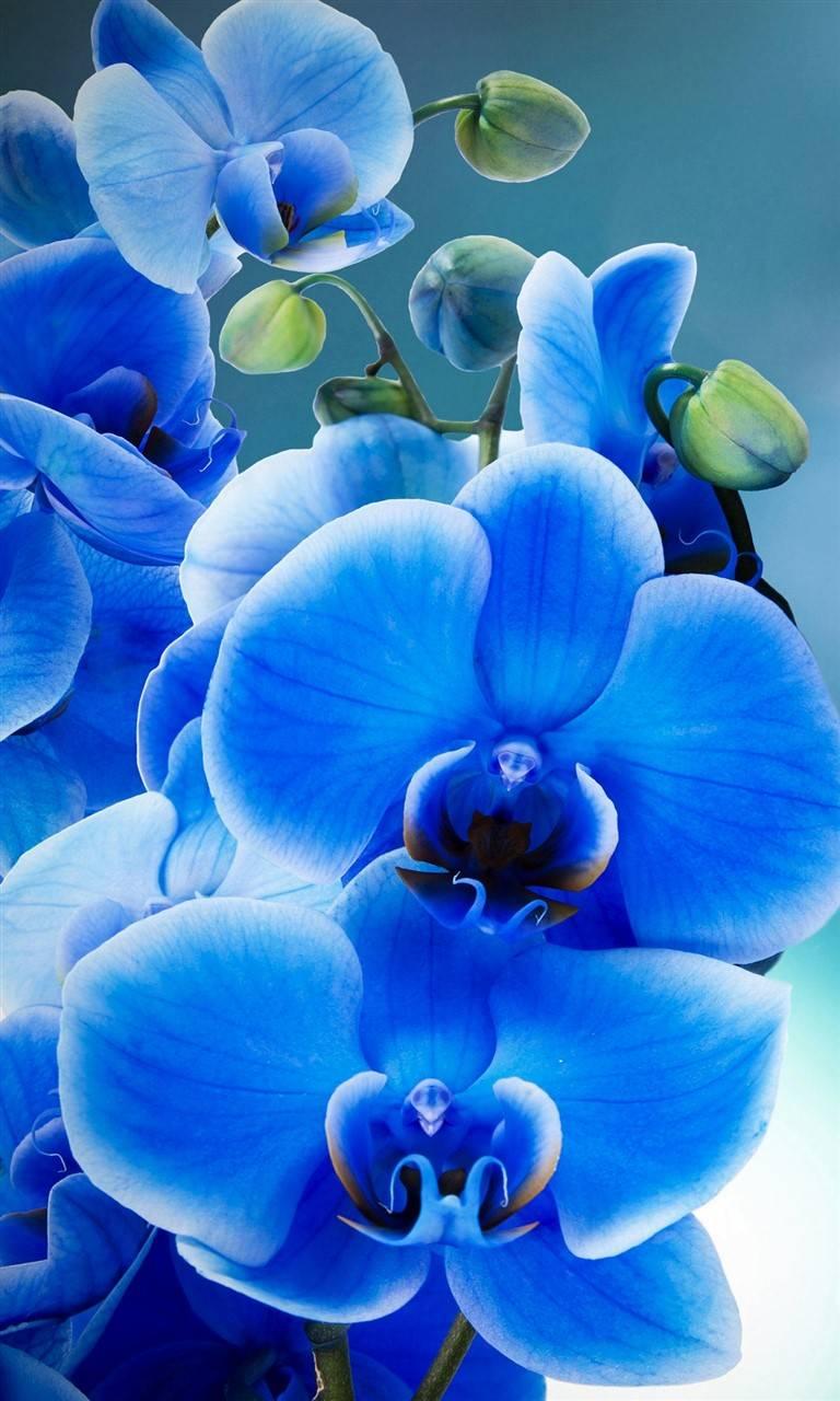 Perfect Phalaenopsis