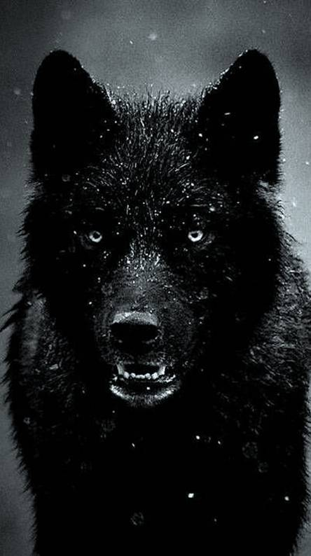 Black Wolf Wallpapers Free By Zedge