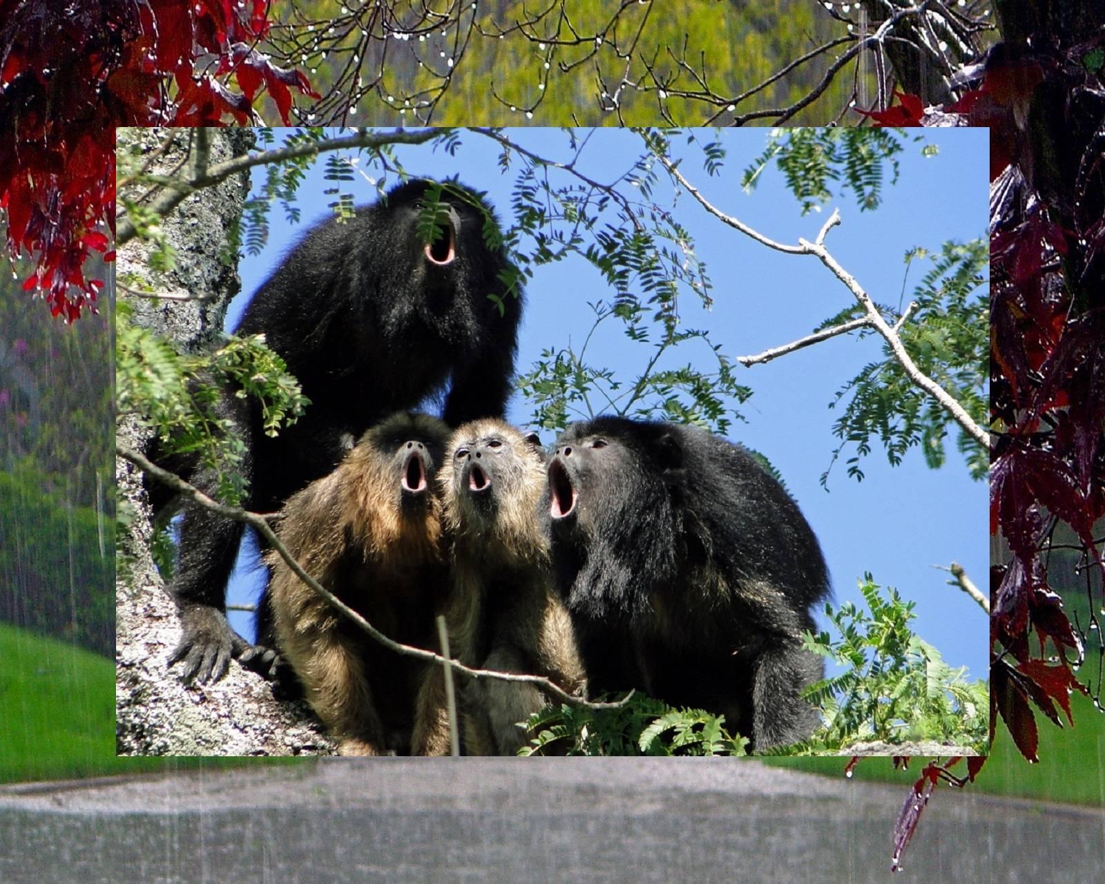 Monkey Quartet