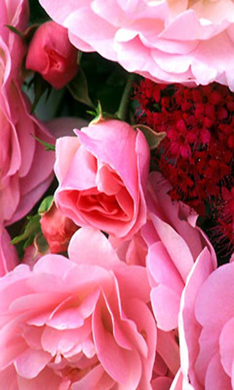 Cute Pink Rose